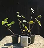 Bonsai Tree, Red Mulberry, Morus rubra, 3x Starter Trees, No Reserve Auction