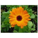 JustSeed - Blume - Ringelblume (Calendula officinalis) - Pacific Beauty Mix - 5000 Samen