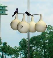 (Purple Martin Birdhouse Gourds 20+ Seeds Great to Paint !)