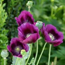 New Poppy , LAVENDER Flower , Rare Color , 270 + SEEDS (Poppy Garden Grow Pot)