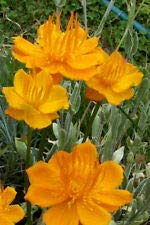 Trollius Golden Queen 50 Seeds, trollius chinensis, Globe Flower. USA Seller