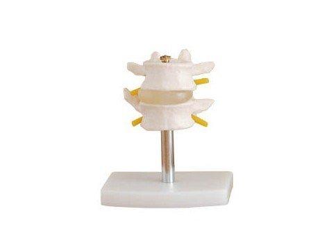 Doc.Royal Human 1:1 Size Lumbar Vertebrae Set (2pcs)Joint Bone Simulation Model Anatomy