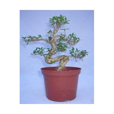 Bonsai Serissa Japonica, (6 inch Pot). Known as Tree of a Thousand Stars with It's Pretty Little White Blossoms.: Garden & Outdoor