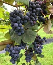 1 Concord Seedless Live Grape Plant 1-2 Year Old Pruned /& Ready for Planting