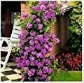 Climbing Purple Fairy Rose 5 Seeds!great Color!rare!