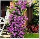 Climbing Purple Fairy Rose 5 Seeds!great Color!rare!