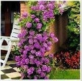 Climbing Purple Fairy Rose 5 Seeds!great Color!rare! (Plants Rose)