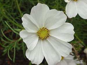 Amazon 350 Purity White Cosmos Cosmos Bipinnatus Flower Seeds