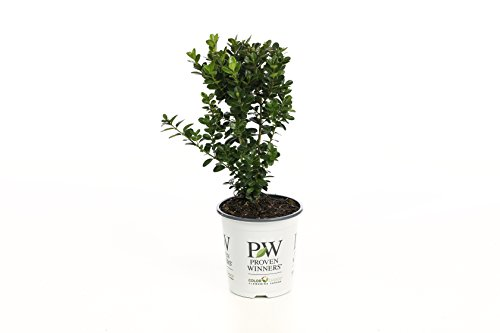 Sprinter Boxwood (Buxus) Live Evergreen Shrub, Green Foliage, 4.5 in. Quart