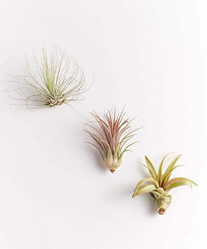 Shop Succulents Unique Air Plants (Collection of 3), 3