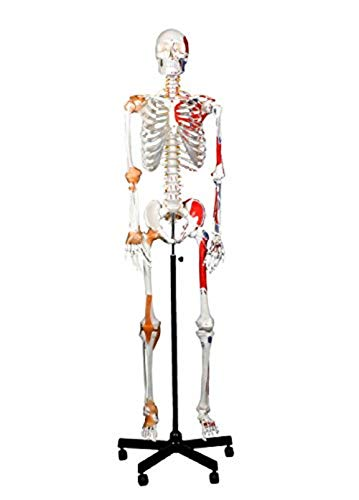 Skeleton Muscles Human (Walter Products B10215 Medical Life Size Human Skeleton Model with Muscles and Ligaments, Full Size 67