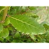 "Sweet Bay Leaf Plant - Bay Laurel Plant - Two (2) Live Plants - Each 4""- 7"" in 4 inch Pots - Laurus Nobilis"