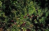 Vaccinium Macrocarpon Cranberry Shrub Seeds AMND-433