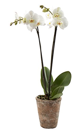 Color Orchids Live Blooming Double Stem Phalaenopsis Orchid Plant in Ceramic Pot, 20''-24'' Tall, White Blooms by Color Orchids