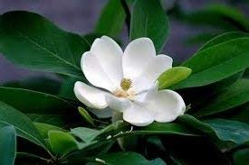 - PlenTree 5 Seeds of Fdr103 Sweet Bay Magnolia (Magnolia Virginana)