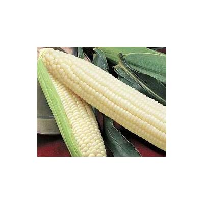 Silver Queen Sweet Corn Seed 1lb : Garden & Outdoor
