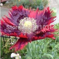 (Germination Seeds PLATFIRM-100 Drama Queen Poppies. Papaver Poppy Seeds~Easy to Grow, Rare Variety Bonsai Plant)