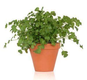 Clovers Garden Santo Cilantro Plant - Slow Bolt - Two (2) Live Plants - Not Seeds -Each 4'' to 7'' Tall- In 3.5 Inch Pots by Clovers Garden (Image #3)
