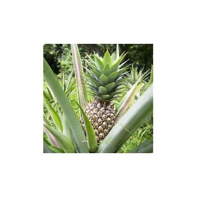 Pineapple Live Fruiting Plant 'White Jade' Ananas comosus Edible fruit : Garden & Outdoor