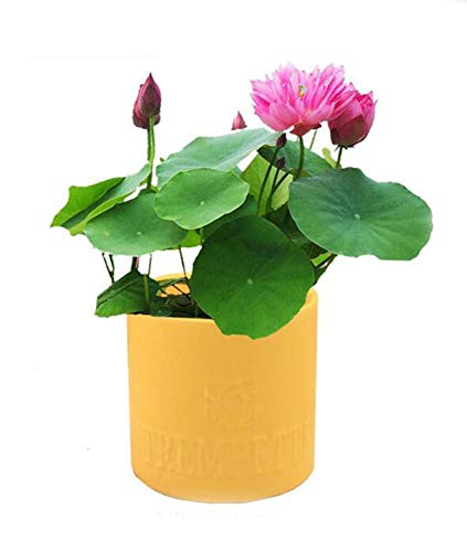 5 Pcs Mini Lotus Flower Seeds DIY Potted Plants Indoor Pot Seed Germination Rate of 95% Mixed Colors Bonsai Home Garden