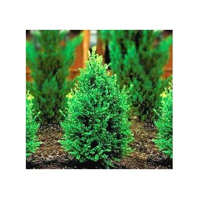 Green Mountain Boxwood - Live Plants in Quart Pots by DAS Farms (No California) : Garden & Outdoor