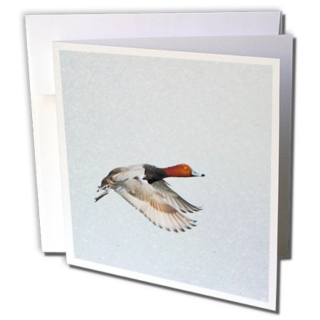 Americana Duck (3dRose Redhead Duck, Aythya Americana, Male In Flight. Greeting Cards, 6