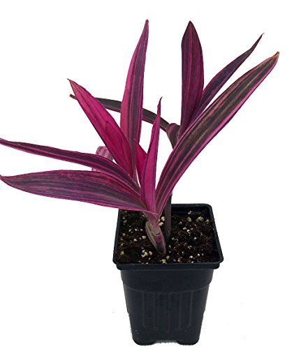 - Variegated Purple Heart Plant - Setcreasea - Indoors or Out - Easy - 4