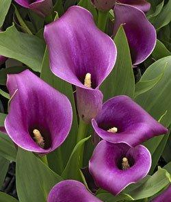 REGAL - Calla Lily Bulb - Beautiful purple calla lilies 2 BULBS by EGBULBS