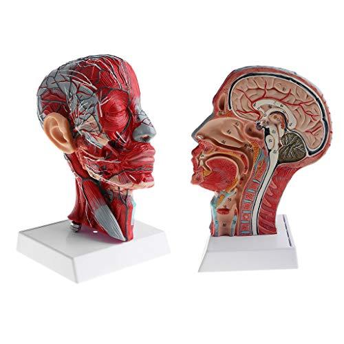 [해외]CUTICATE 2pcs 1:1 해부학 인간 하프 헤드 &, 학습 자원에 대 한 혈관 신경 해부학 모델 / CUTICATE 2pcs 1:1 Anatomical Human Half Head & Neck WVessel Nerve Anatomy Model for Learning Resources