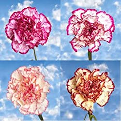 100 Fresh Cut Bi-Color Carnations | Fresh Flowers Express Delivery | Perfect for Valentine's Day, Anniversary or any occasion.