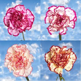 GlobalRose 200 Fresh Cut Bi-Color Carnations - Fresh Flowers Wholesale Express Delivery by GlobalRose (Image #2)