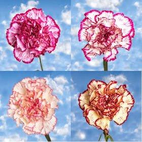 GlobalRose 100 Fresh Cut Bi-Color Carnations - Fresh Flowers For Birthdays, Weddings or Anniversary. by GlobalRose (Image #2)