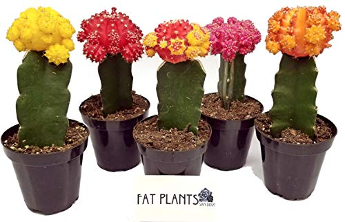 Fat Plants San Diego Large Grafted Moon Cactus Succulent Plants (5, Multi) by Fat Plants San Diego