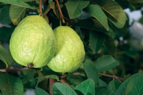 White Guavas Tropical Fruit Trees