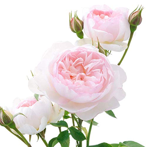 Gentle Plant - David Austin English Roses Gentle Hermione