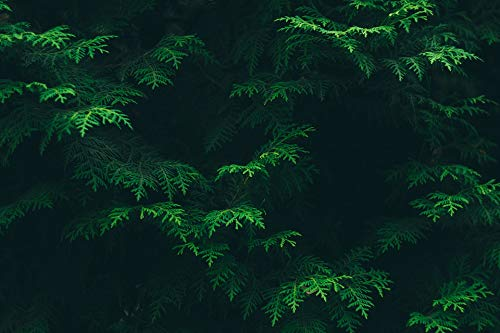 (Home Comforts Canvas Print Environment Color Foliage Flora Green Conifer Vivid Imagery Stretched Canvas 32 x 24)