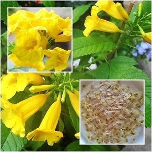 (Ornamental Flowering Tree Esperanza Yellow Flower Flowers to Plant Seeds for Beginners Flowering Plant Seeds Garden Pack by)