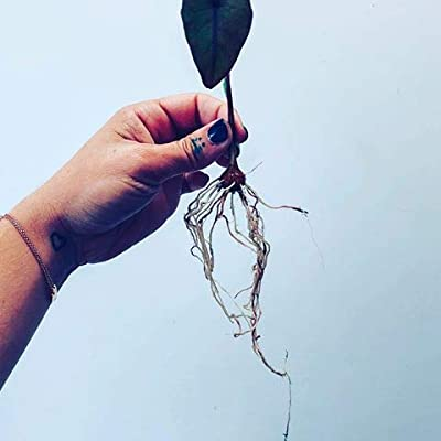 justLeaf. 3 Live Bonsai Taro Bulbs. Smallest Colocasia Esculenta Ever. Rare Tropical Tiny Cocoyam Tubers. Grow The World's Smallest Eddo. Fast & from The USA. Easy to Grow. Hard to Kill : Garden & Outdoor