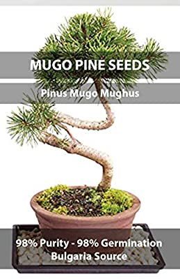 Mugo Pine Tree Bonsai Seeds, Pinus Mugo Mughus, Crop Year 2016, Purity 98% Germination 98%, Collection Locale Bulgaria, 15 Pure Seeds per Packet!