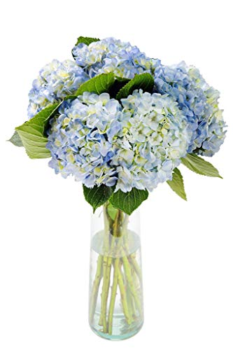 Blue Hydrangea 5 Stems with a Free Glass Vase – Click Available from These Sellers Below.