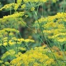 Herb Seeds - Dill Fernleaf - 100 Seeds