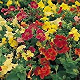 Mimulus Midwest Mix 1,000 seeds