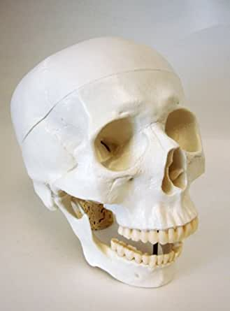 Amazon.com: Life Size Model Human Skull Anatomical Model: Industrial ...