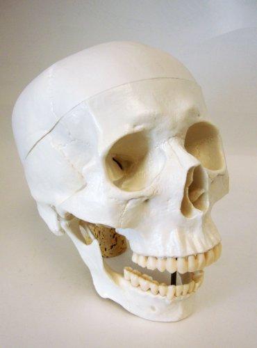 Life Size Model Human Skull Anatomical Model