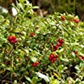 Koralle Lingonberry - Ships 4 to 6 inch in a 1 Quart Pot