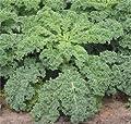 Kale Dwarf Siberian Improved Great Heirloom Vegetable 30,000 Seeds By Seed Kingdom