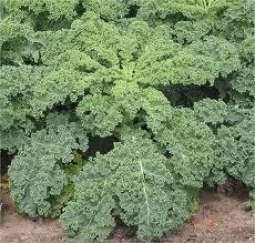 Kale Dwarf Siberian Improved Great Heirloom Vegetable 30,000 Seeds by Seed ()
