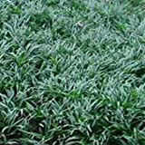 "(18 Count Flat-3.5"" Pots), Ophiopogon Japonicus 'Nana' Dwarf Mondo Grass. (Ground Cover), Short, Dark Green Foliage, Tiny White Flowers Turn to Blue Berries in Fall"