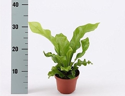 Asplenium nidus fern plant in a 12cm Pot x 1. 35cm tall. Indoor fern Perfect Plants