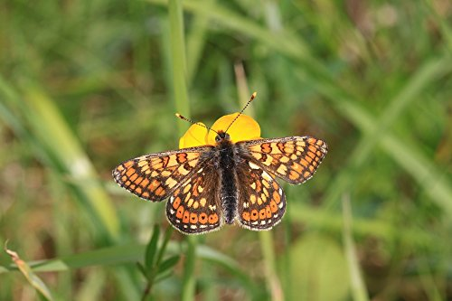 Home Comforts Laminated Poster Euphydryas Aurinia Marsh Fritillary Butterfly Collure Poster